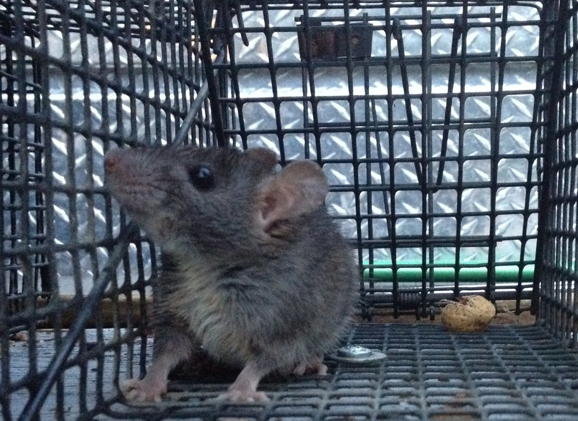 rat trapped